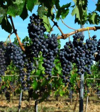 grapes-wine