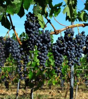 grapes-wine